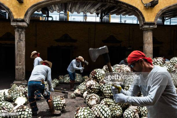Workers cut blue agave pits referred to as pineapples at the Becle SAB Jose Cuervo distillery in the town of Tequila Jalisco state Mexico on Thursday...