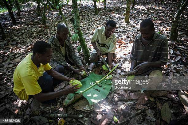 Workers cut open cocoa fruit during harvesting on a cocoa plantation in Agboville Ivory Coast on Tuesday Sept 1 2015 Ivory Coast will produce about...