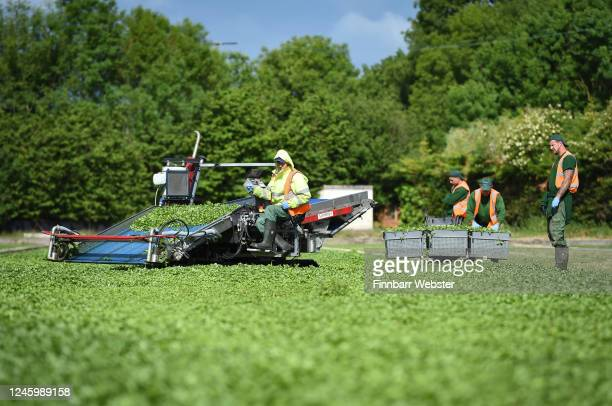Workers cut the crop of watercress on June 05, 2020 in Waddock Cross, United Kingdom. The Watercress Company in Dorset has overcome difficulties in...