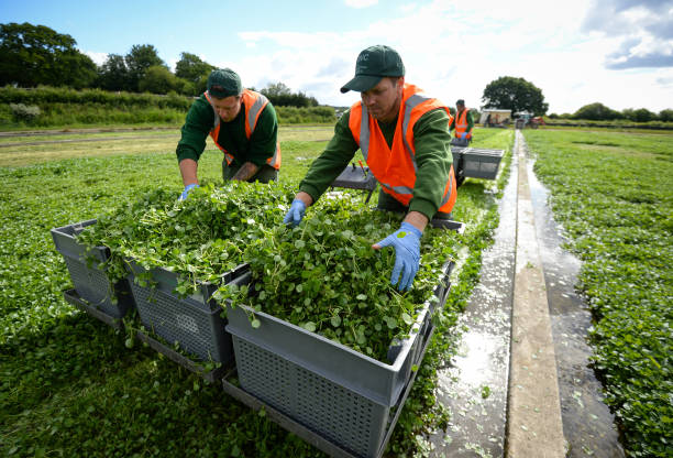 GBR: Furloughed British Workers Help With The Watercress Harvest