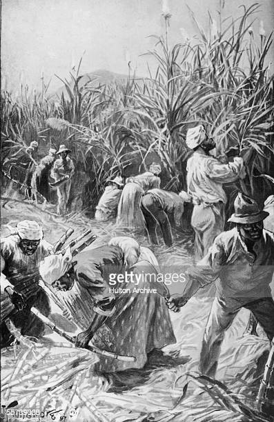 Workers cutting sugar cane on a plantation in Jamaica 1897 Illustration by J Finnemore