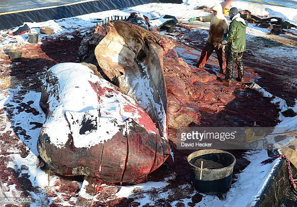 Workers dismember one of two dead sperm whales that recently appeared on the beach of Wangerooge Island on January 18 2016 in Wilhelmshaven Germany A...