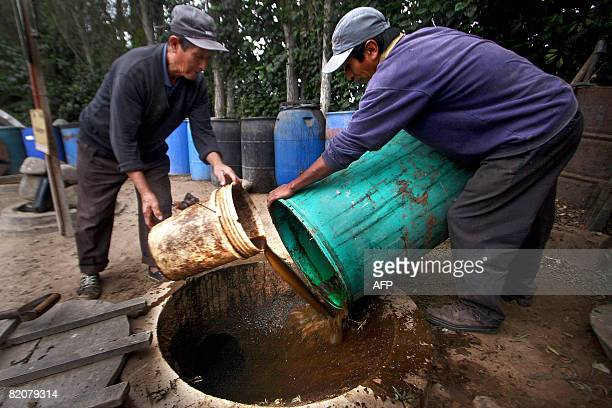 Workers dump compost made from guinea pig excrement and decaying plants into a biodigestor at a guinea pig farm in Pachacamac 40 kms south of Lima on...