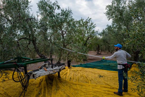 ITA: Olive Harvest In Puglia