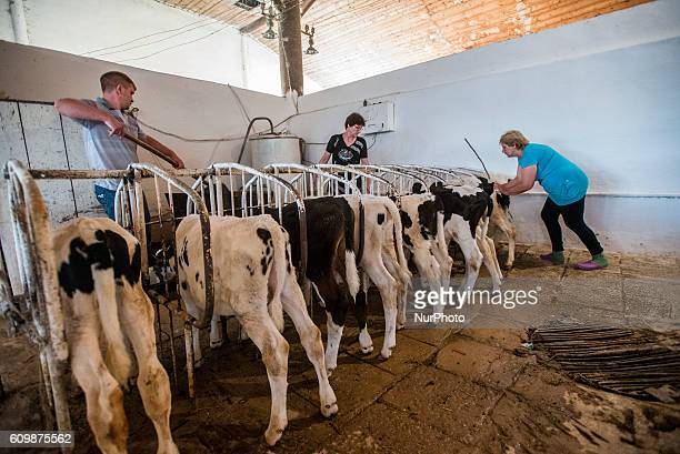 Workers feed calves milk in the calves nursery at the Nikitin Kolkhoz at Ivanovka village Azerbaijan Ivanovka is a village with mainly Russian...