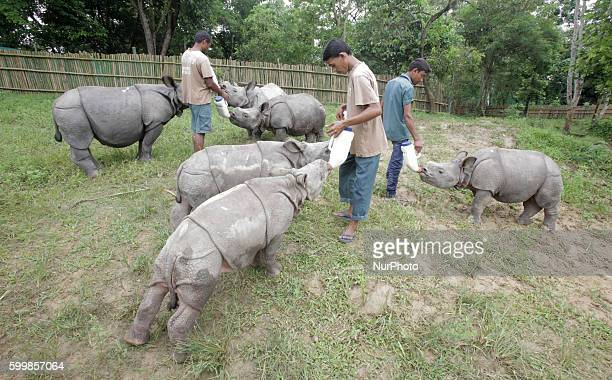 Workers feed Rhino calves which where rescue from the recent Kaziranga flood at a temporary makeshift paddock at Kaziranga India north eastern state...