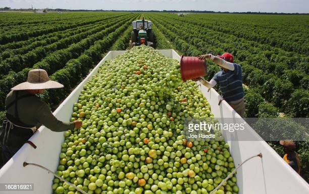 Workers fill a trailer with tomatoes as they harvest them in the fields of DiMare Farms on February 6 2013 in Florida City Florida The United States...