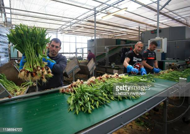 Workers from EU countries sort tulips at J A Collison and Sons a supplier of cut flowers to supermarkets in the town of Boston in Lincolnshire...