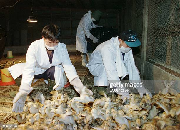 Workers from the Agriculture and Fisheries Department in white clinical suits and face masks try to catch small chickens before gassing them inside a...