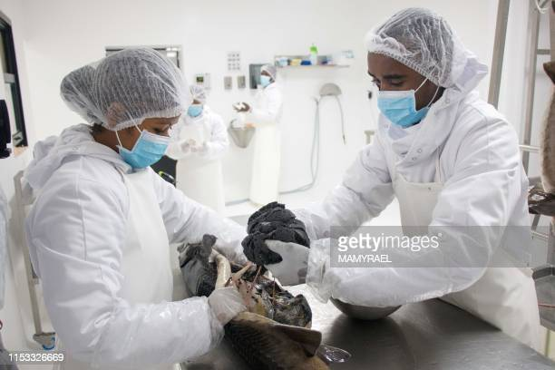 Workers from the company Rova Caviar Madagascar extract the caviar from a sturgeon at the Acipenser factory on June 4 2019 in Mantasoa Madagascar...