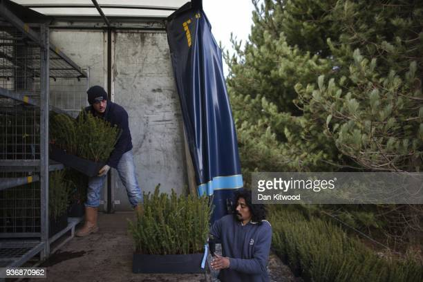 Workers from 'The Forestry Workers' CoOperative' begin to unload trees on March 22 2018 in Doddington England The Doddington North Afforestation...