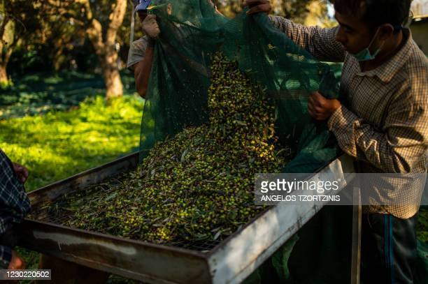 Workers gather olives at an olive grove in village Aghios Andreas, about 300 kilometers from Athens, on December 16, 2020. - Travel restrictions...