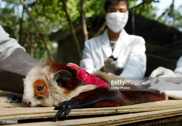 Workers give an injection to a Redandwhite giant flying squirrel at the Guangdong Wild Animal Rescue Centre on December 21 2004 in Guangzhou China...