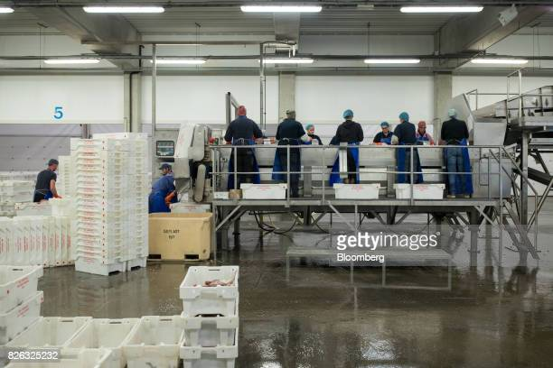 Workers hand sort crates of freshly caught fish ahead of auction at the port of Den Helder Netherlands on Friday Aug 4 2017 Prime Minister Theresa...