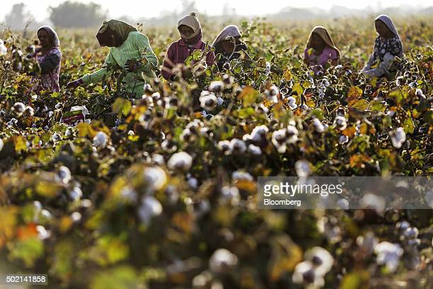 Workers handpick cotton in a field in Wankaner Gujarat India on Tuesday Dec 15 2015 World inventories at the end of this season will be the...