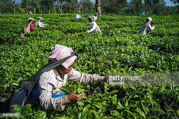 Workers handpick tea leaves at the Simulbari Tea Estate in Darjeeling district West Bengal India on Monday Dec 7 2015 Startup company Teabox works...