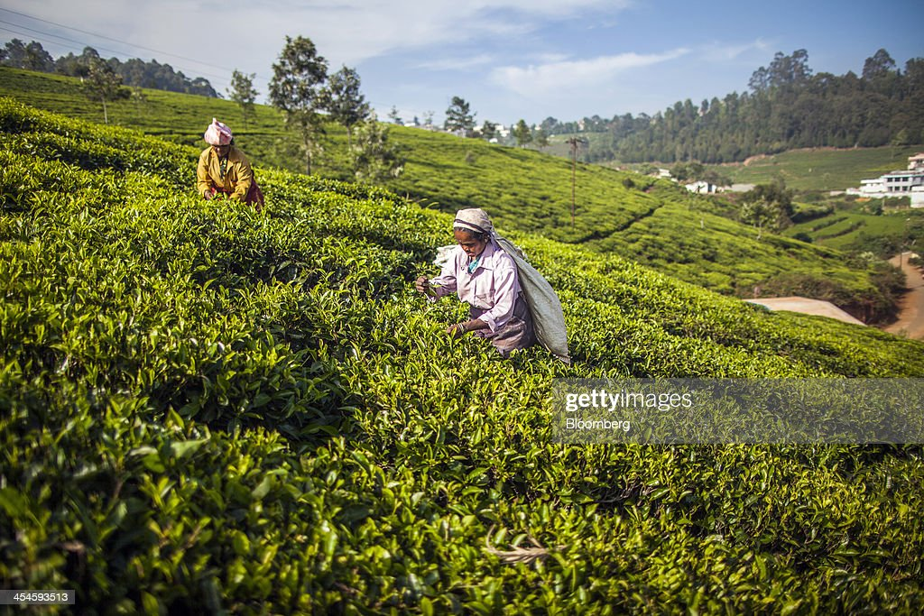 Workers hand-pick tea leaves on a tea estate in Coonoor, Tamil Nadu, India, on Saturday, Nov. 30, 2013. India is the worlds largest producer of tea after China. Photographer: Prashanth Vishwanathan/Bloomberg via Getty Images