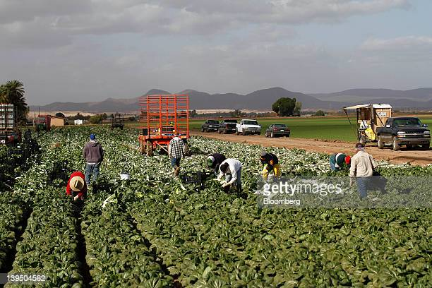 Workers harvest bok choi on the Fort YumaQuechan Reservation in Imperial County California US on Wednesday Feb15 2012The Department of Agriculture...