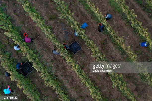 Workers harvest Cabernet Sauvignon grapes for Bazelet Hagolan winery on its last day of the 2020 harvest at sunrise on October 5, 2020 at Tel Mahfi...