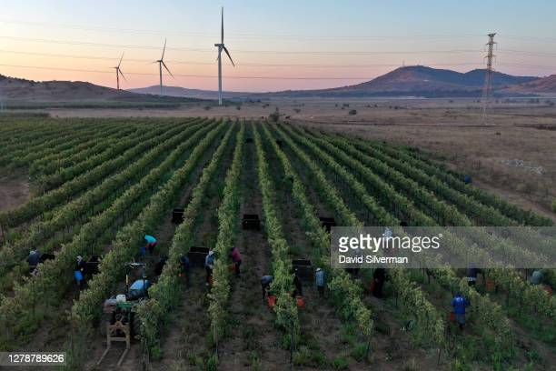 Workers harvest Cabernet Sauvignon grapes for Bazelet Hagolan winery on its last day of the 2020 harvest alongside newly-contructed wined turbines at...