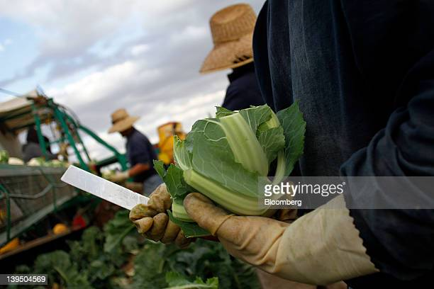 Workers harvest cauliflower on the Fort YumaQuechan Reservation in Imperial County California US on Wednesday Feb15 2012 The Department of...