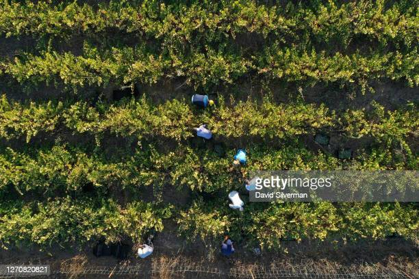 Workers harvest Chenin Blanc wine grapes for Seahorse Winery in the winery's organic vineyard on August 28, 2020 in the Bar Giora community in the...
