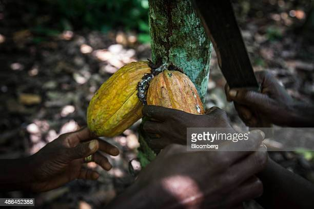 Workers harvest cocoa fruit from trees on a cocoa plantation in Agboville Ivory Coast on Tuesday Sept 1 2015 Ivory Coast will produce about 17...