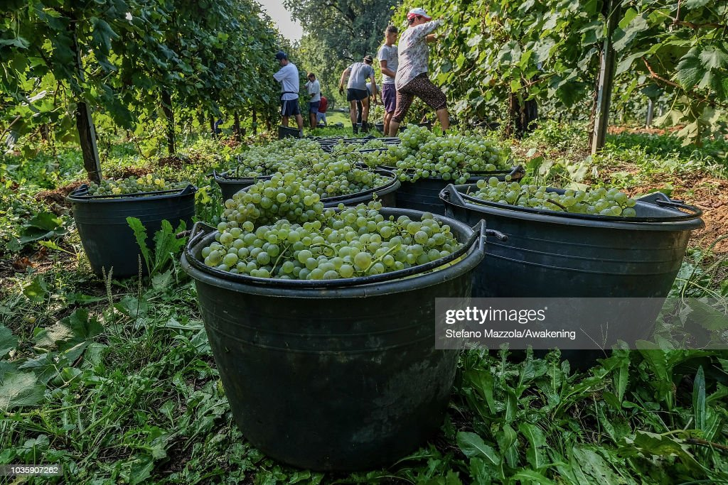 Harvest Starts For The Prosecco Grape