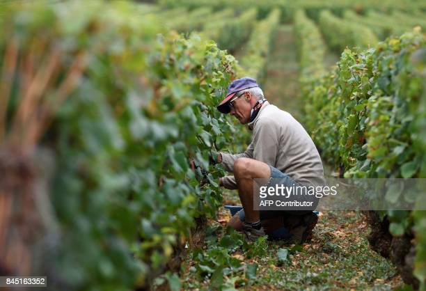 Workers harvest grapes from the famous Romanee Conti vineyard on September 8 2017 in VosneRomanee in the Burgundy region centraleastern France The...