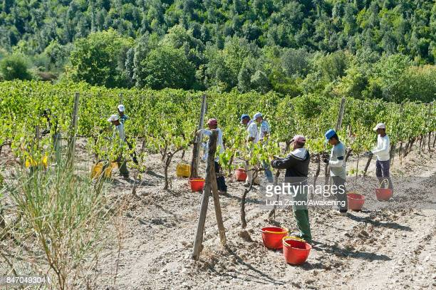 Workers harvest grapes to make Brunello wine in a vineyard on September 14 2017 in Montalcino Italy Brunello di Montalcino is one of Italy's most...
