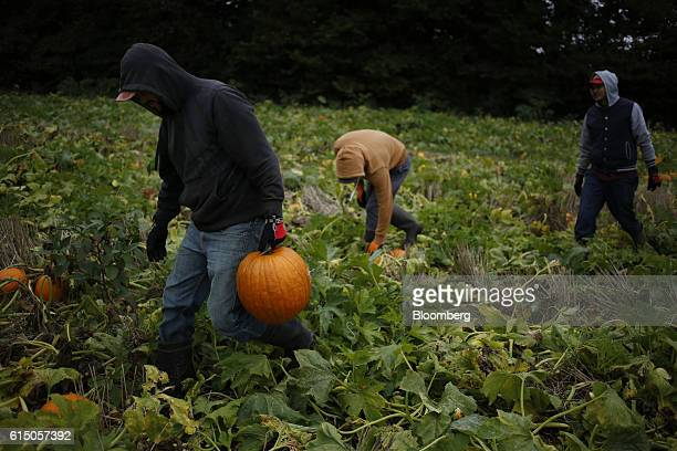 Workers harvest jacko'lantern pumpkins at a Frey Farms Inc pumpkin patch in Poseyville Indiana US on Thursday Oct 13 2016 Frey Farms is a multistate...