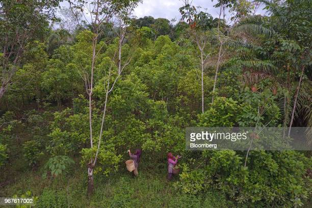 49 Kratom Harvesting And Processing In Indonesian Borneo Pictures
