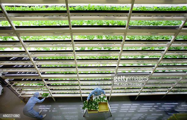 Workers harvest lettuce from 11story 5meters shelves at a vegetable factory on June 5 2014 in Kashiwa Chiba Japan The factory jointly developped with...