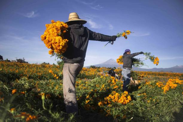 MEX: A Marigold Harvest Ahead Of Day Of The Dead Celebrations