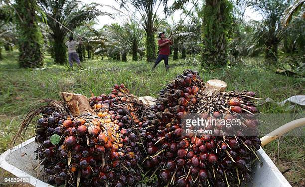 Workers harvest oil palm fruit on a plantation in Ngabang West Kalimantan Indonesia on Monday Dec 1 2008 Indonesia the world's largest palm oil...