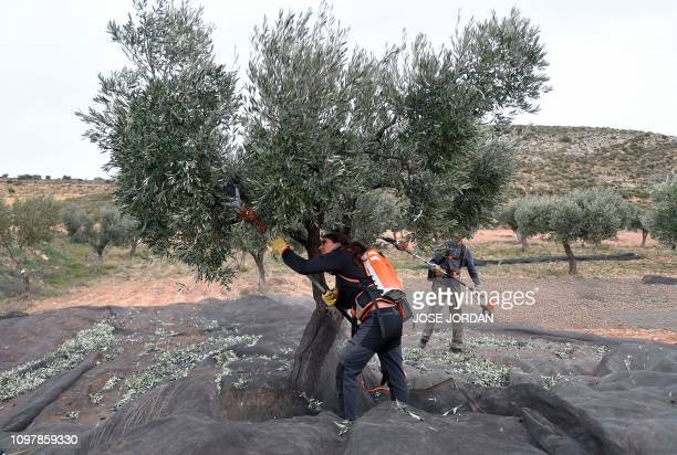 Workers harvest olives in Oliete northeastern Spain on December 17 2018 Residents began moving away from rural towns and villages like Oliete in the...