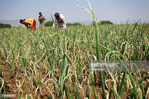 Workers harvest onions on a farm near Chandwad Maharashtra India on Wednesday Oct 23 2013 Onion prices in India may extend a record rally as heavy...