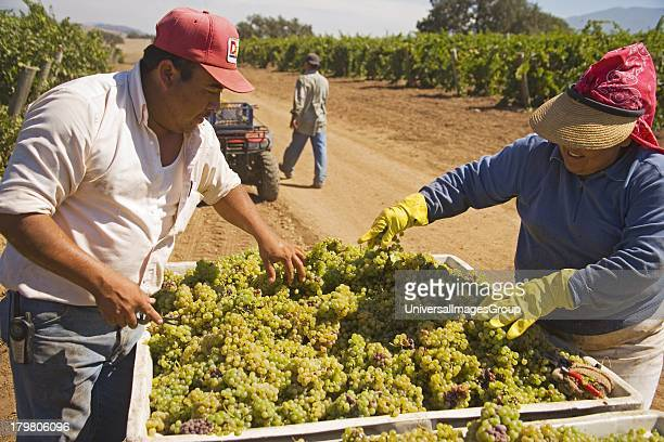 Workers harvest pinot gris or pinot grigio grapes Gainey Vineyard Santa Ynez Valley near Santa Barbara California