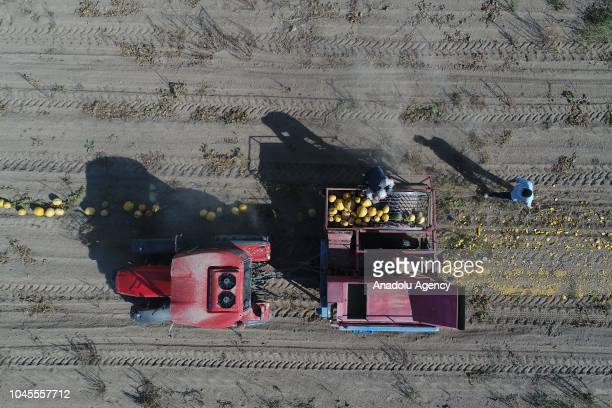 Workers harvest pumpkin seeds at an agriculture field in Tomarza district of Kayseri Turkey on October 04 2018