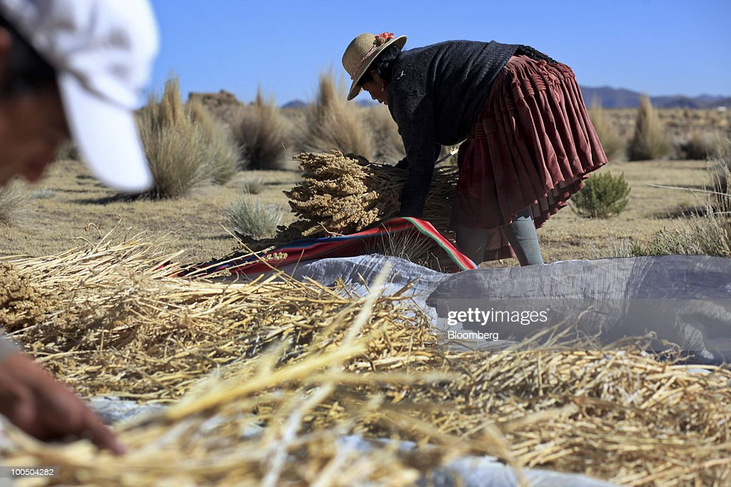 Quinoa Harvest : News Photo