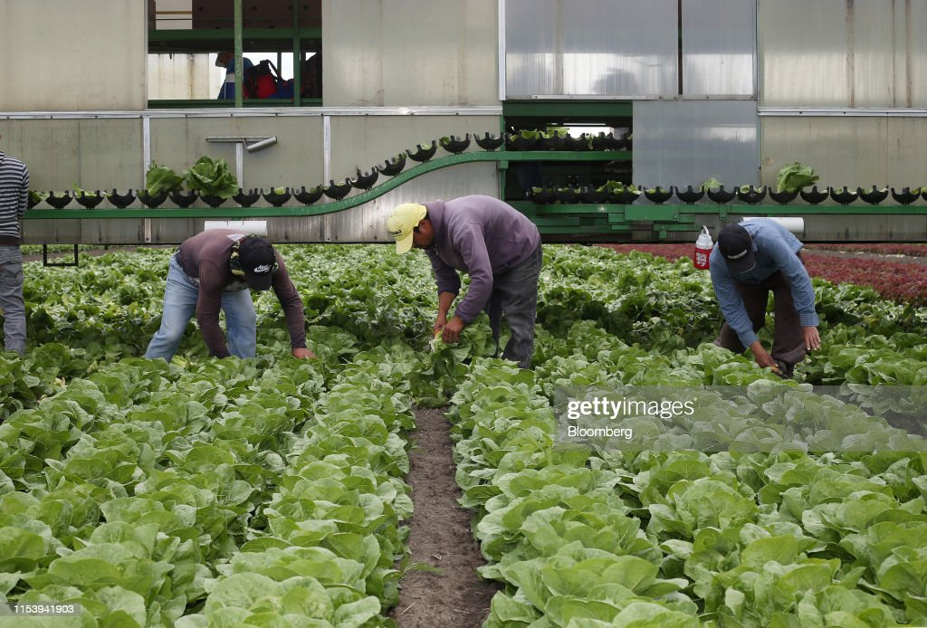 Lettuce Harvest As Manitoba Sees Dry First Half Of Year : News Photo