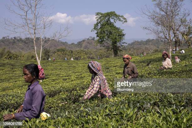 Workers harvest tea leaves at the Rungamattee Tea & Industries Ltd. Chandighat Tea Estate in Cachar, Assam, India, on Tuesday, Jan. 22, 2019....