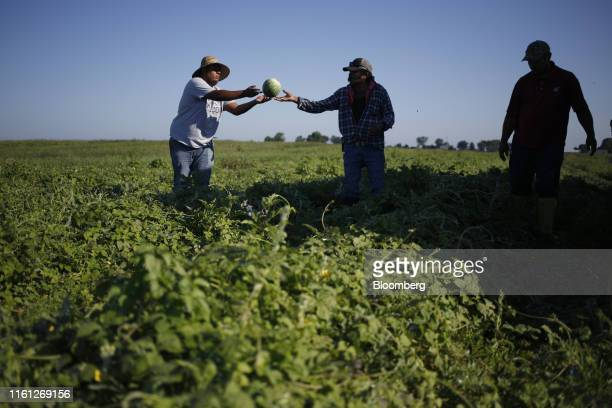 Workers harvest watermelons at Frey Farms Inc in Poseyville Indiana US on Thursday Aug 1 2019 Overall the value of watermelon exports rose by an...