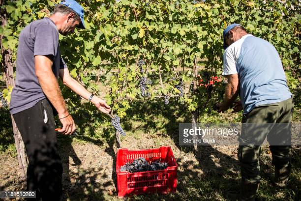 Workers harvesting grapes during the grape harvest for Barolo wine on October 16 2019 in Verduno Italy