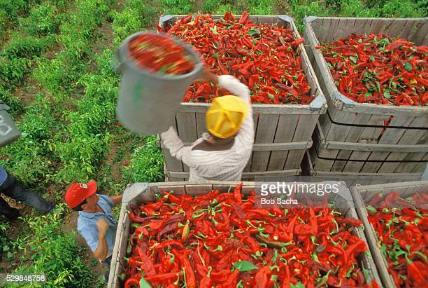 Workers Harvesting Red Chili Peppers