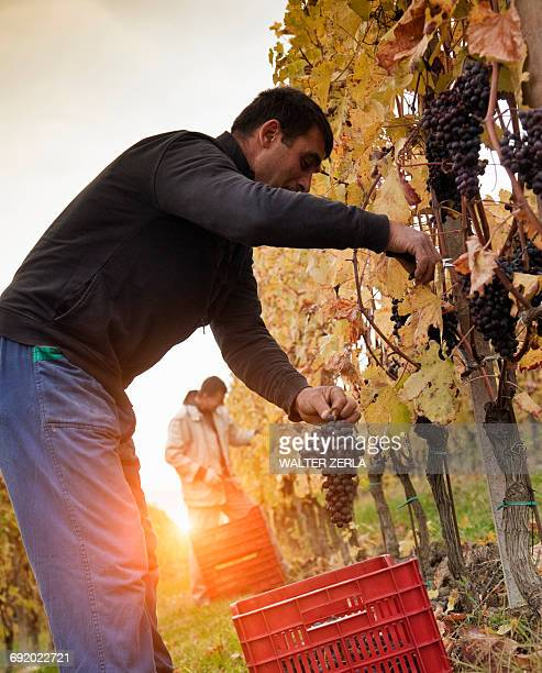 Workers harvesting red grapes of Nebbiolo, Barolo, Langhe, Cuneo, Piedmont, Italy