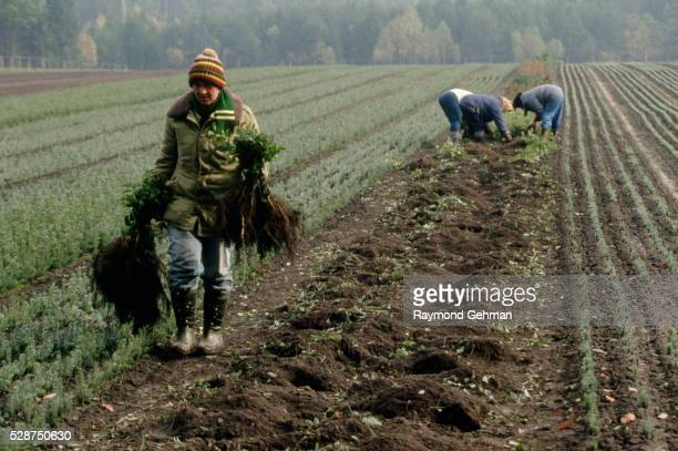 workers harvesting saplings - bialowieza forest stock pictures, royalty-free photos & images