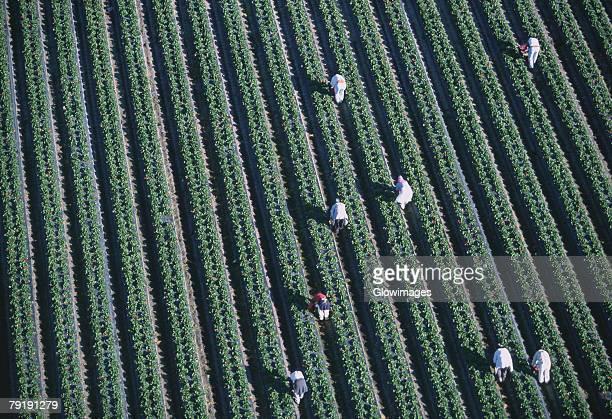 Workers harvesting strawberries, Florida