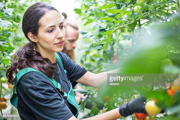 Workers harvesting tomatoes in greenhouse