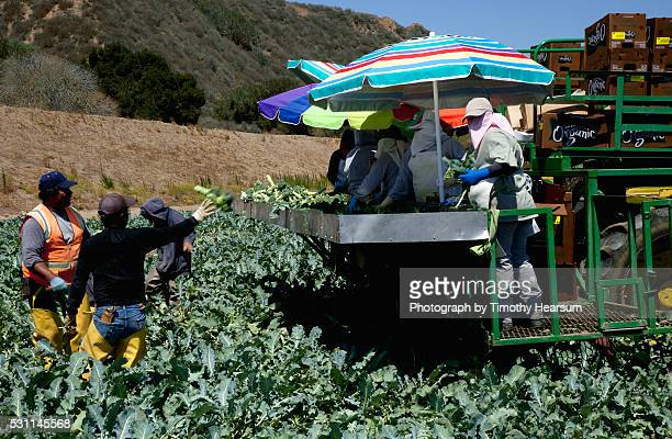 workers harvesting trimming and packaging broccoli in the field - timothy hearsum stock pictures, royalty-free photos & images
